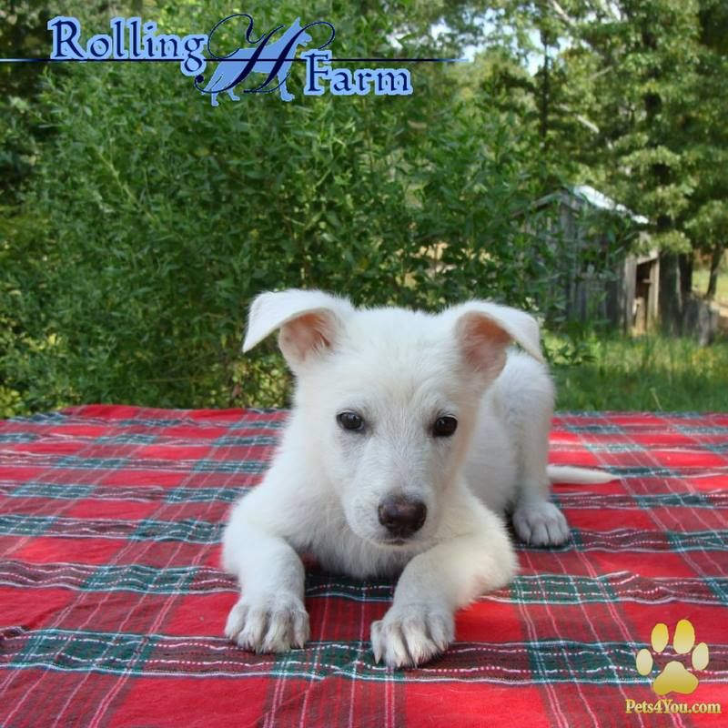 White German Shepherd Puppies Available Our Breederspotlight Is On Rolling H Farms Akc Registered Wit Puppies German Shepherd Puppies White German Shepherd