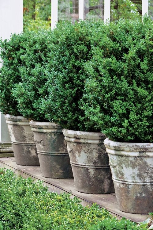 Boxwoods Perfect For Pots Boxwood Landscaping Outdoor Planters Backyard Landscaping