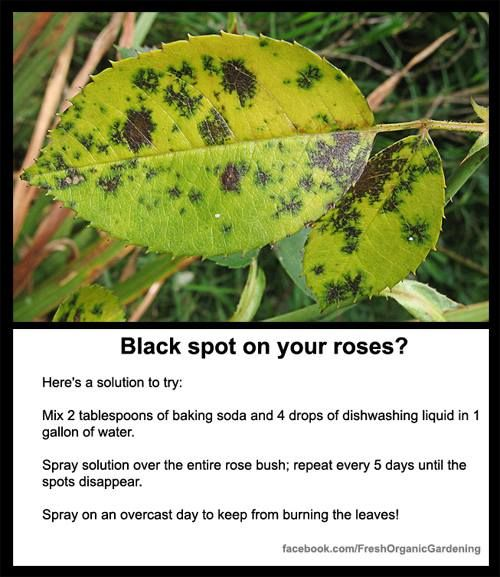 Black Spots On Roses That Pesky Rose Bush Of Mine Is Pushing My Limits Black Spot On Roses Rose Bush Care Plants