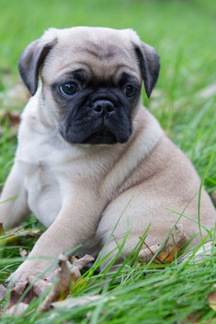 Cute Adorable Pug Puppy Playing In The Grass And Leaves Pugs Cute Pugs Puppy Play