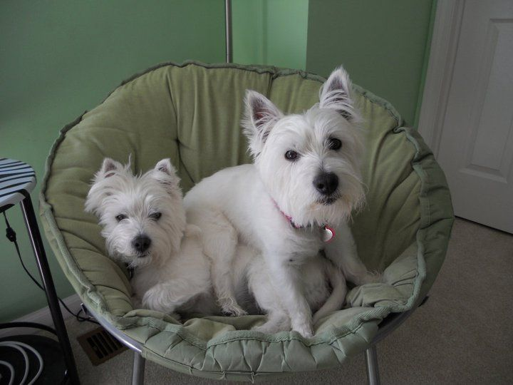 """""""You're in my chair."""" Westie sisters share a chair."""