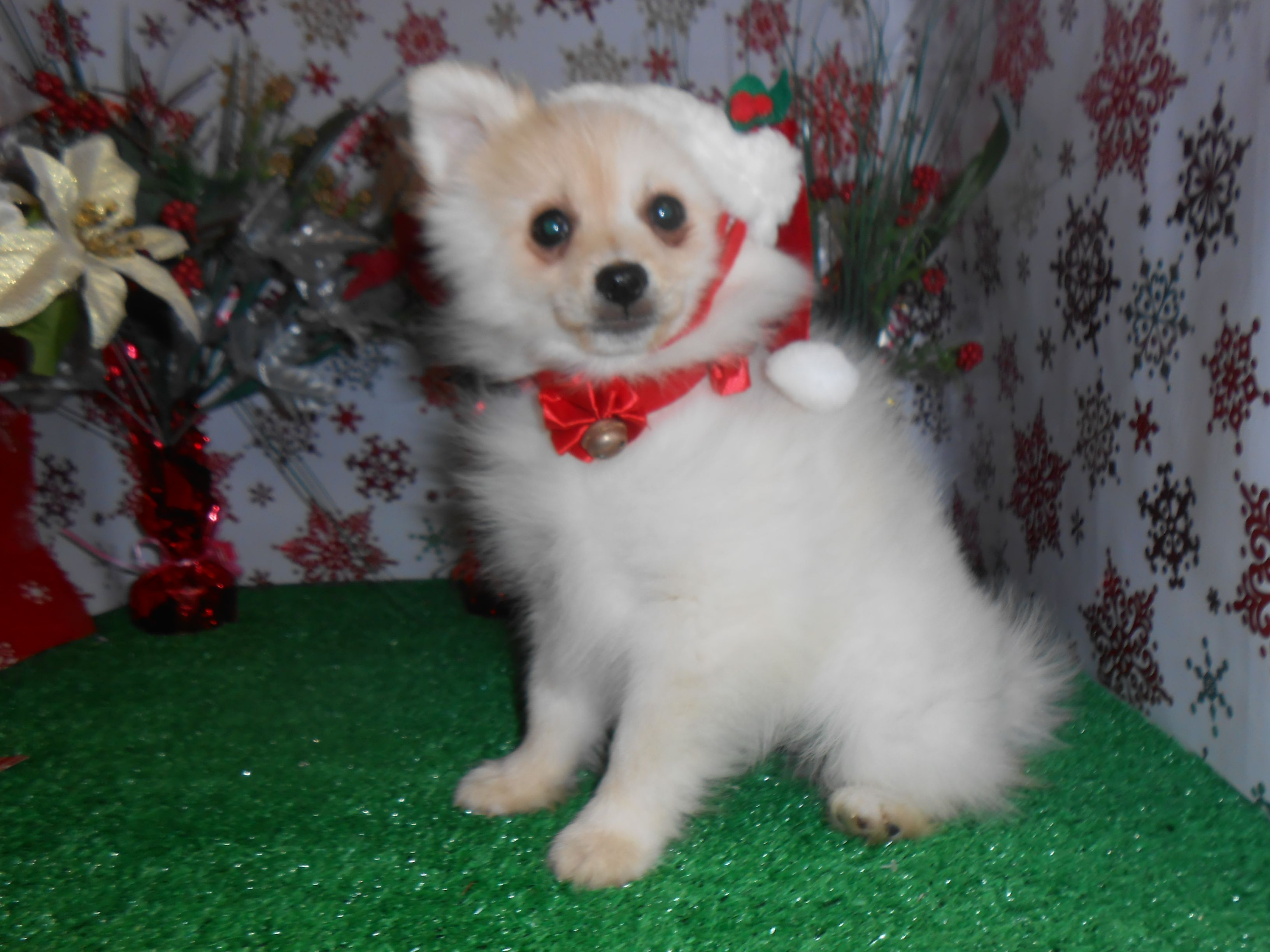 Louie Youngwood Pa Shih Tzu Chihuahua Mix Meet Louie A Dog