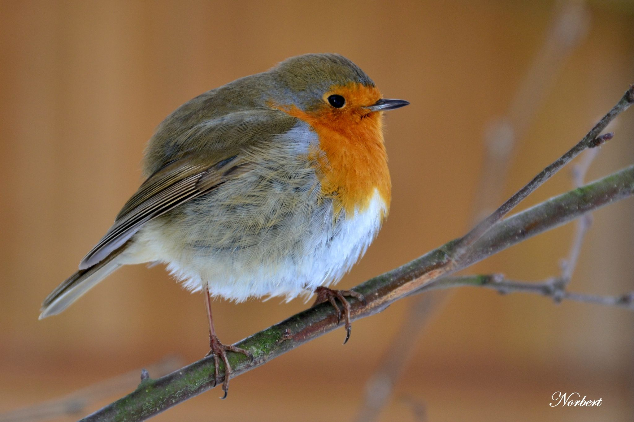 Le Rouge Gorge Familier Erithacus Rubecula Le Chien Vert Animaux Et Oiseaux Animales Chien Vert