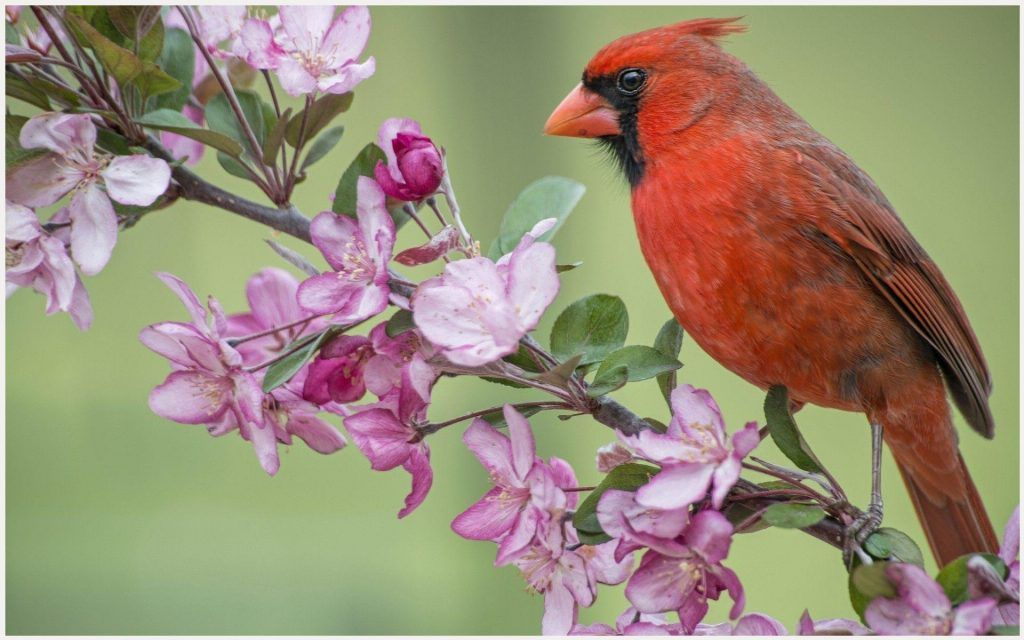 Best Cardinal Bird Wallpaper Borders