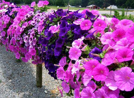 Petunia Fast Facts Garden Guides Petunia Flower Petunias Hanging Flower Baskets