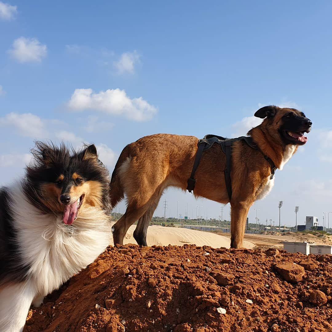 Hi Loki Boudica Collie Roughcollie Tricolor Dogs
