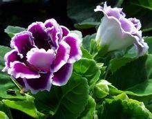 Gloxinia : plantation, entretien, arrosage