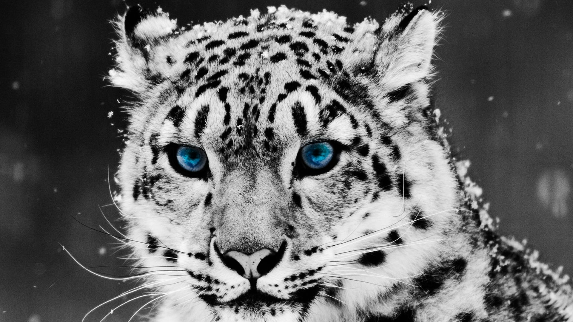 Full Hd P Snow Leopard Wallpapers Hd Desktop Backgrounds