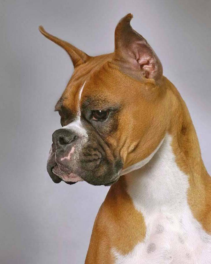 Boxer Dog Names Popular Male Female Boxer Names Funny Boxer