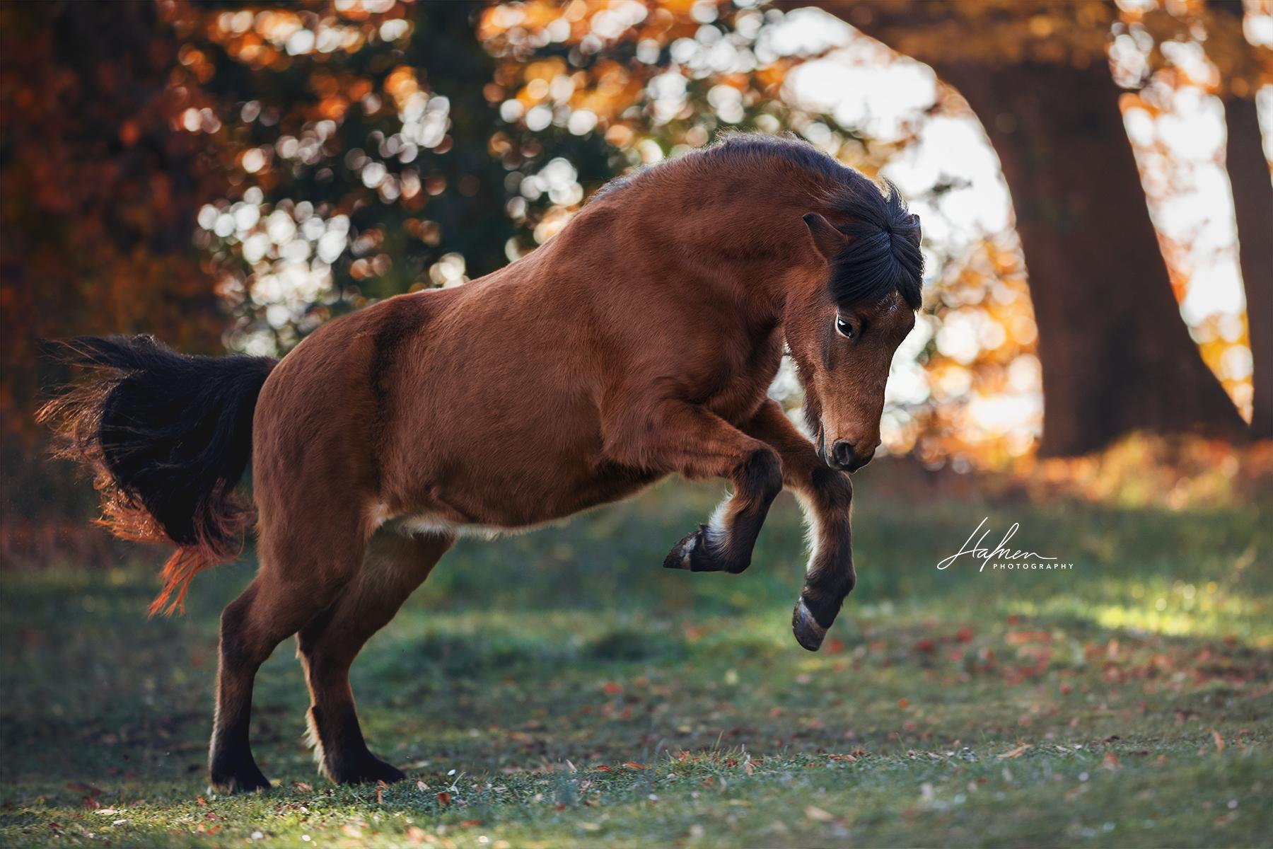 Isländer Stute Im Freilauf Pferde Fotografie Pferdefotografie Pferdefotos