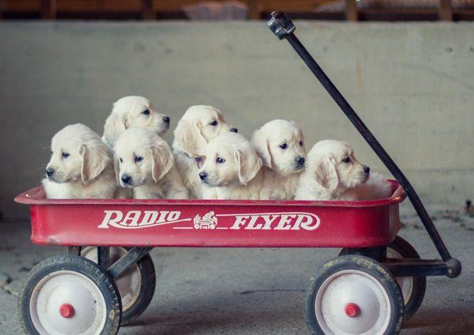 Healthy White Golden Retriever Puppies For Sale Golden Meadows