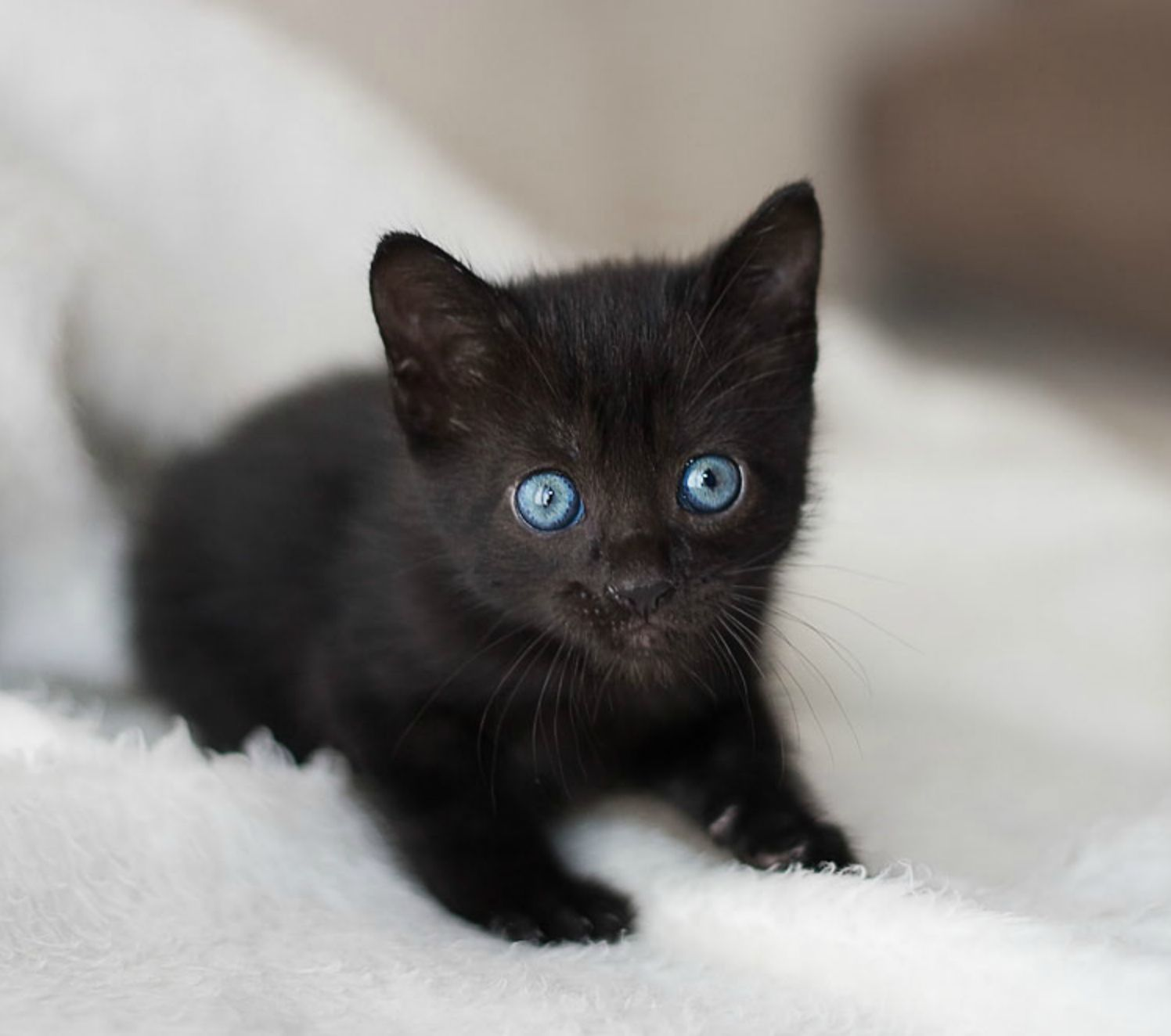 Wide eyed with mischief!   Cats   Pinterest   Blue eyes ...  White Cat With Dark Blue Eyes