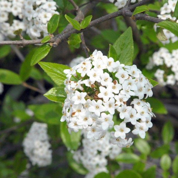 Viburnum burkwoodii viorne de burkwoodun arbuste au port arrondi et touffu au feuillage caduc - Arbuste a petites fleurs blanches ...