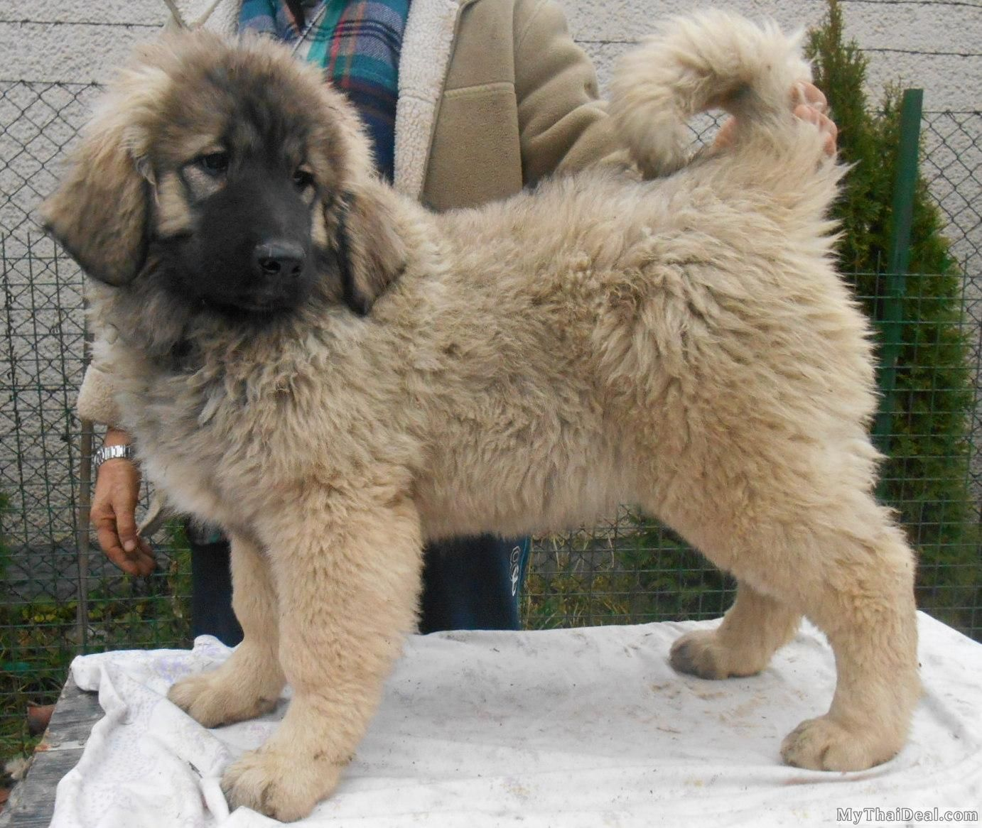 Russian Caucasian Mountain Dog Google Search Mountain