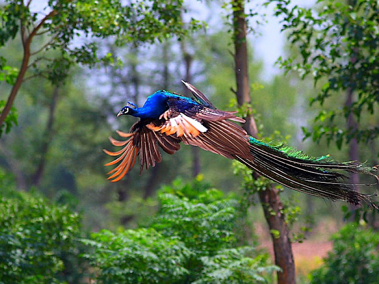Best Quality Images Of 3d Peacock Wallpaper You Can Simply Visit To The Official Website Of The 3d Hd Wallpaper To Downl Peacock Flying Cute Animals Pet Birds