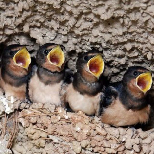 Baby birds waiting to be fed   小鳥