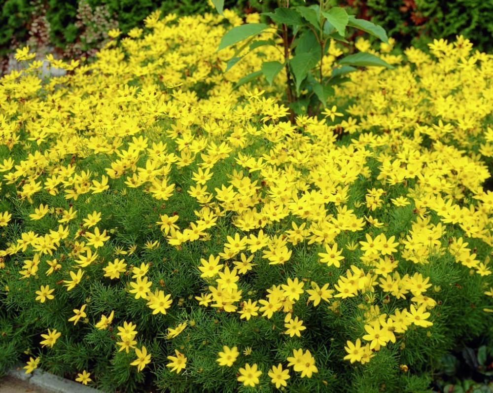 Coreopsis Verticillata Zagreb Shade Plants Perennials Full Sun Landscaping