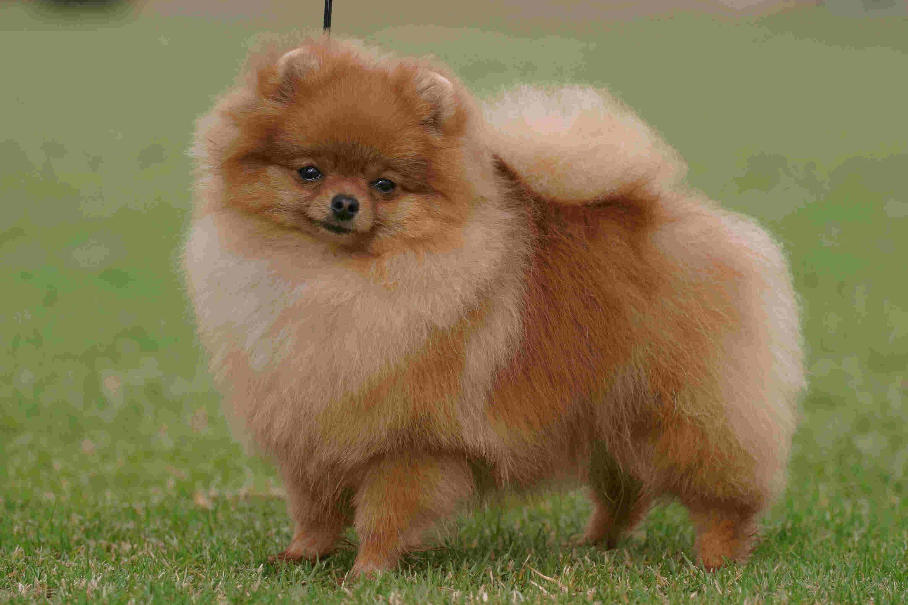pomeranian dog Pedigree Xantah Golden Choice