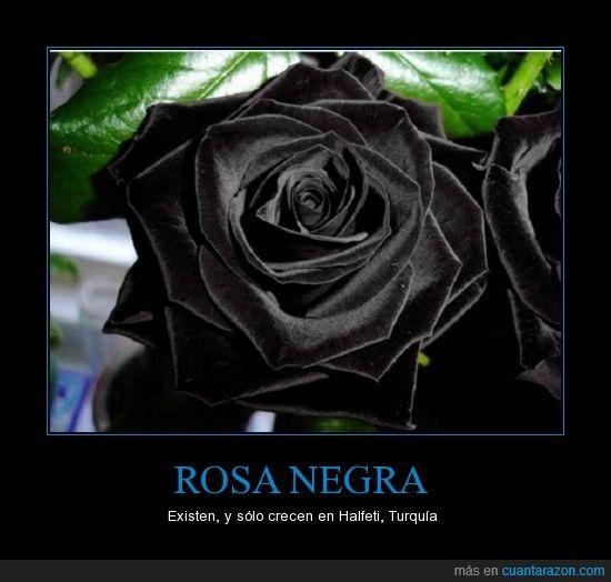 Rosa negra existen y s lo crecen en halfeti turqu a for Do black roses really exist