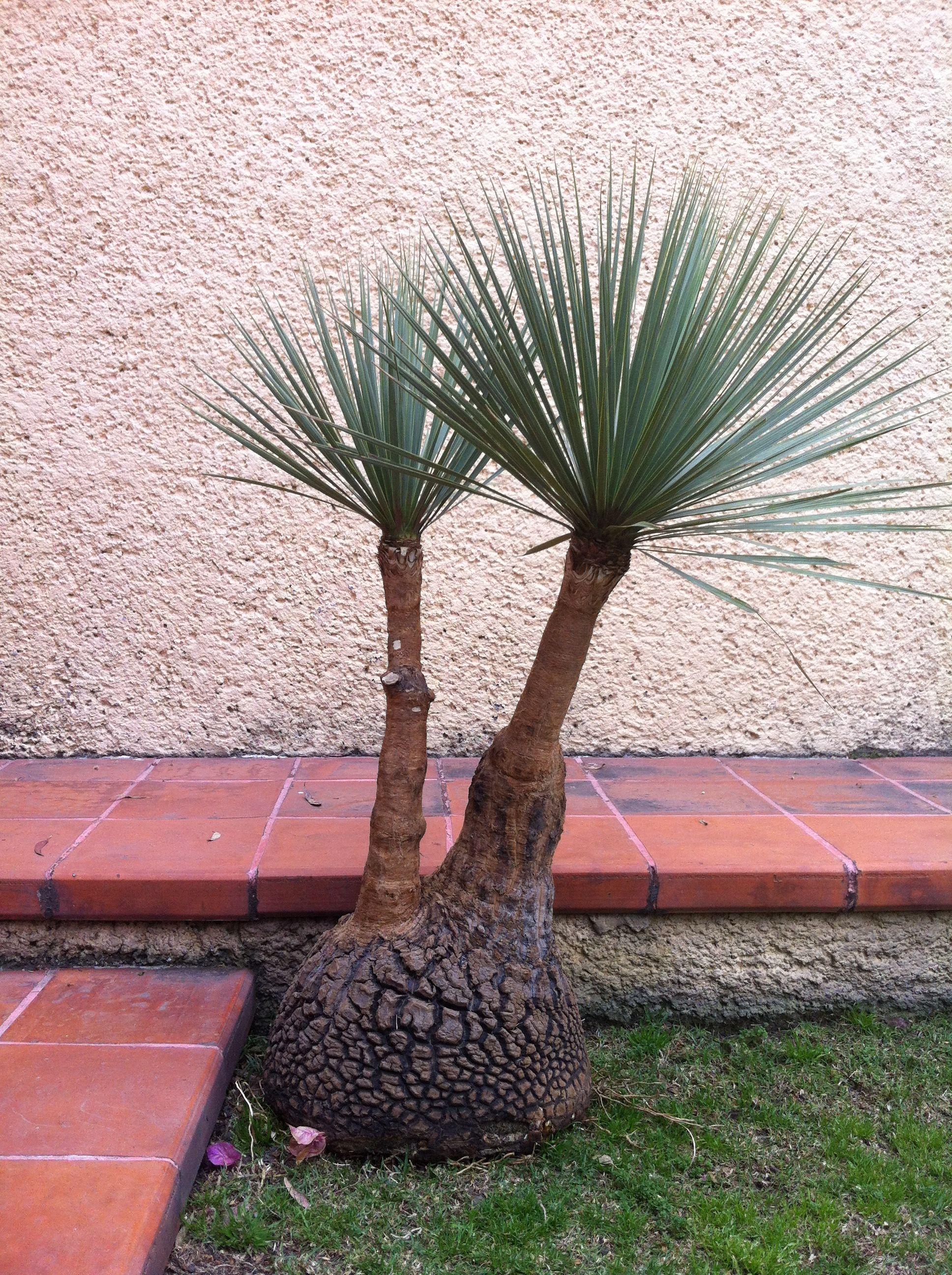 Pata de elefante del desierto plantas de nuestra casa - Planta pata de elefante ...