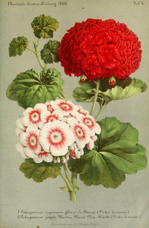 Pelargonium 'Gloire de Nancy' & 'Madam Marie Van Houtte'. Plate from Illustrierte Garten-Zeitung. Published 1856.