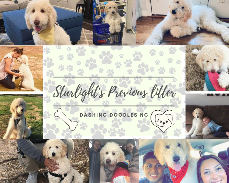 Goldendoodle Puppies Dashing Doodles Nc Goldendoodle Puppy Dog Birthday Pictures Dog Birthday