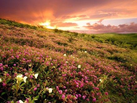 A Flor Natureza Prado - Flor, nascer do sol, natureza Campo do desktop Flores Imagens, Flor Prado, Natureza, Montanha, Lovely, Paisagem, Relva, Wildflower