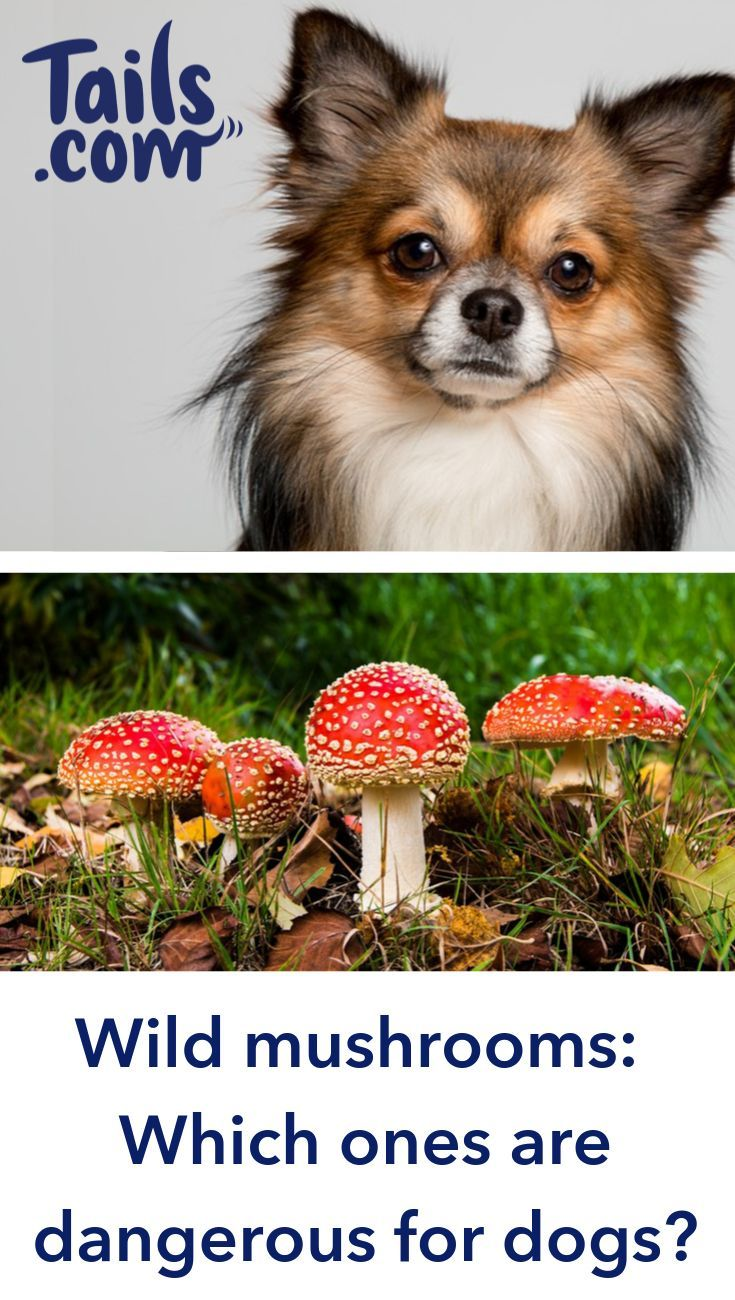 Poisonous Mushroom Pictures For Dogs