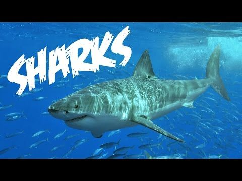 All About Sharks for Children: Animal Videos for Kids - FreeSchool - YouTube