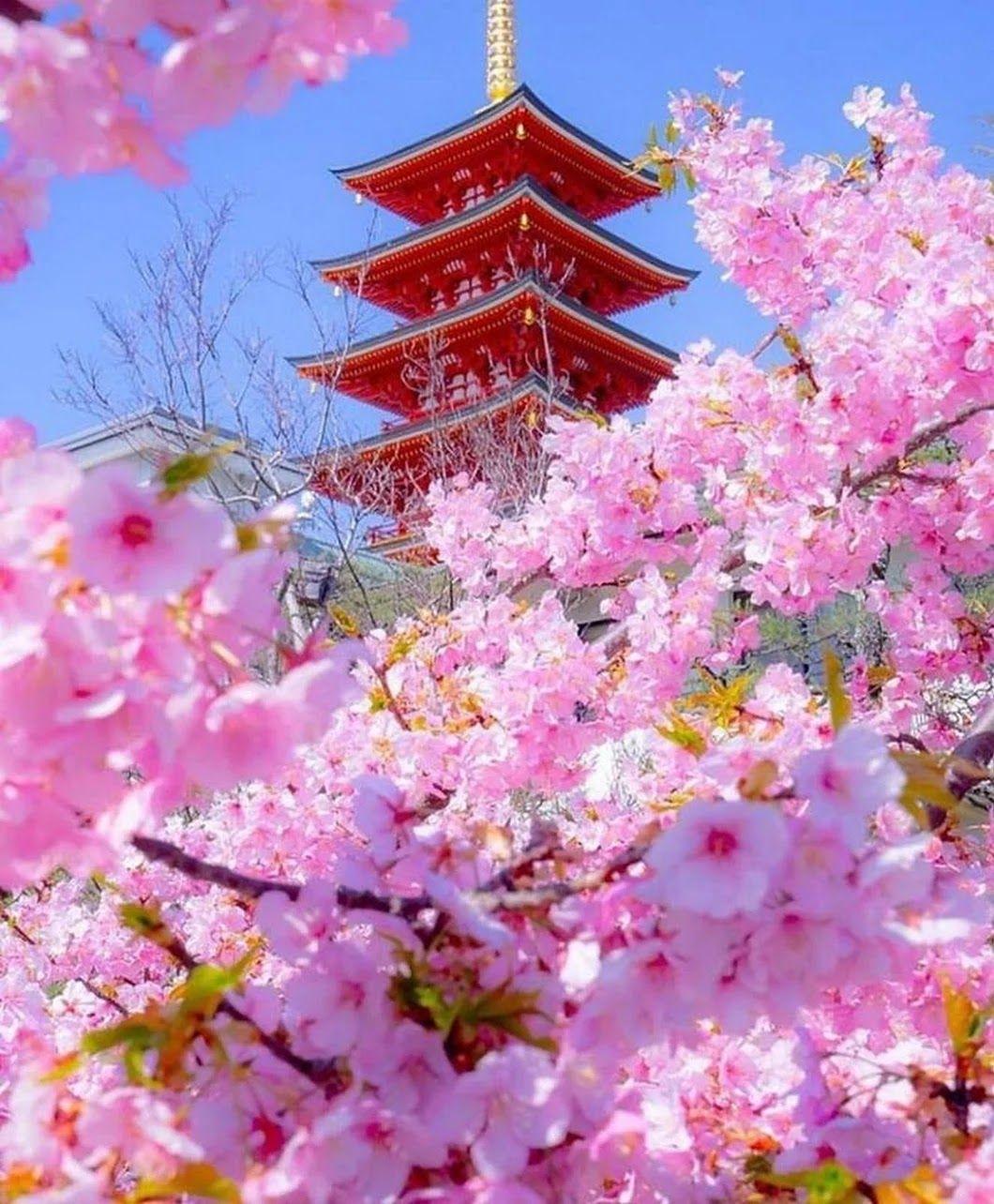 Картинки японские сакуры