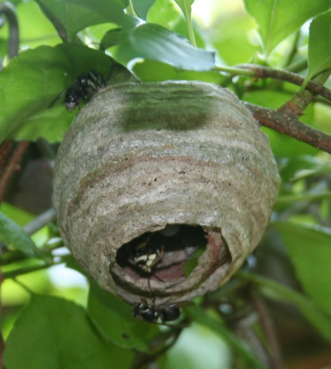 Baldfaced! We have had wasp nests in our