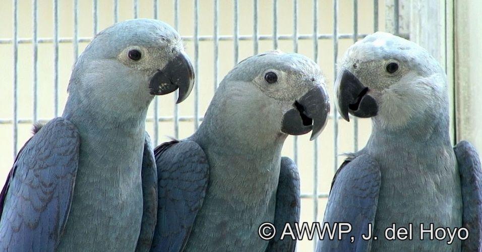 Preferência Conheça animais ameaçados de extinção no planeta   Ararinha azul  LQ14