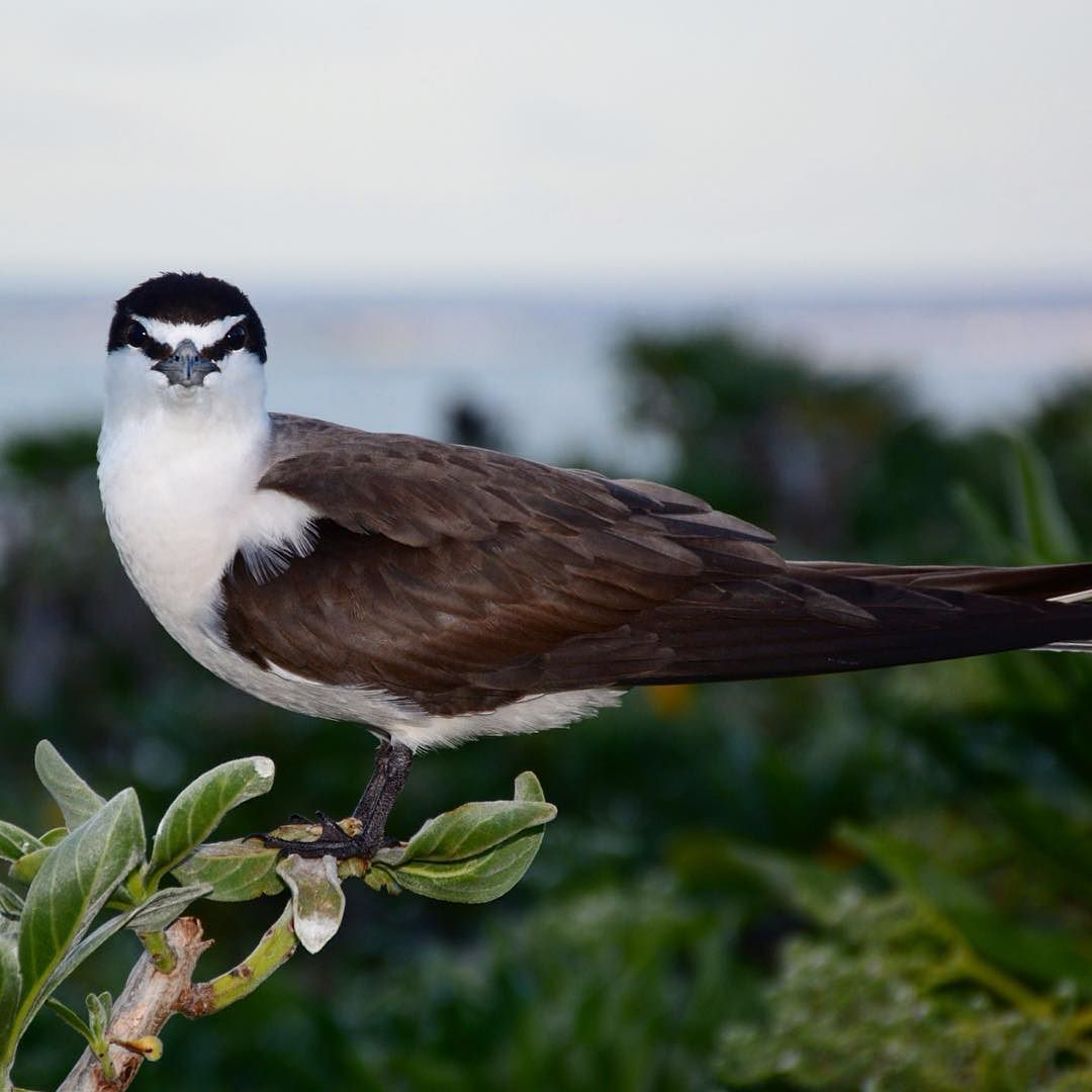"""""""Realize deeply that the present moment is all you have. Make the NOW the primary focus of your life.""""  Eckhart Tolle  _____ Beautiful Bridled Tern looking straight at me   _____  #ladyelliotisland #greatbarrierreef #southerngreatbarrierreef #visitfrasercoast #gbrmarinepark #mermaid #mermaidlife #happiness #gratitude #waterlust #bird #birdlover #birdwatching #ig_australia #queensland #visitqueensland #seeaustralia #love #nature #nikon #nikonphotography #adventure #motivational #quote…"""