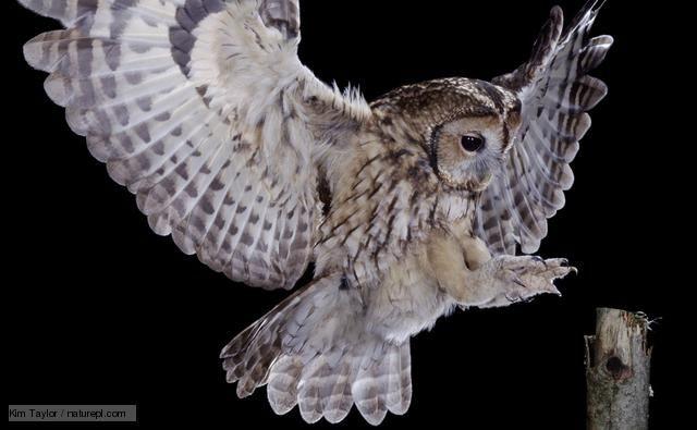 Tawny Owl In Flight Picture Taken Buy Hazel S Dad