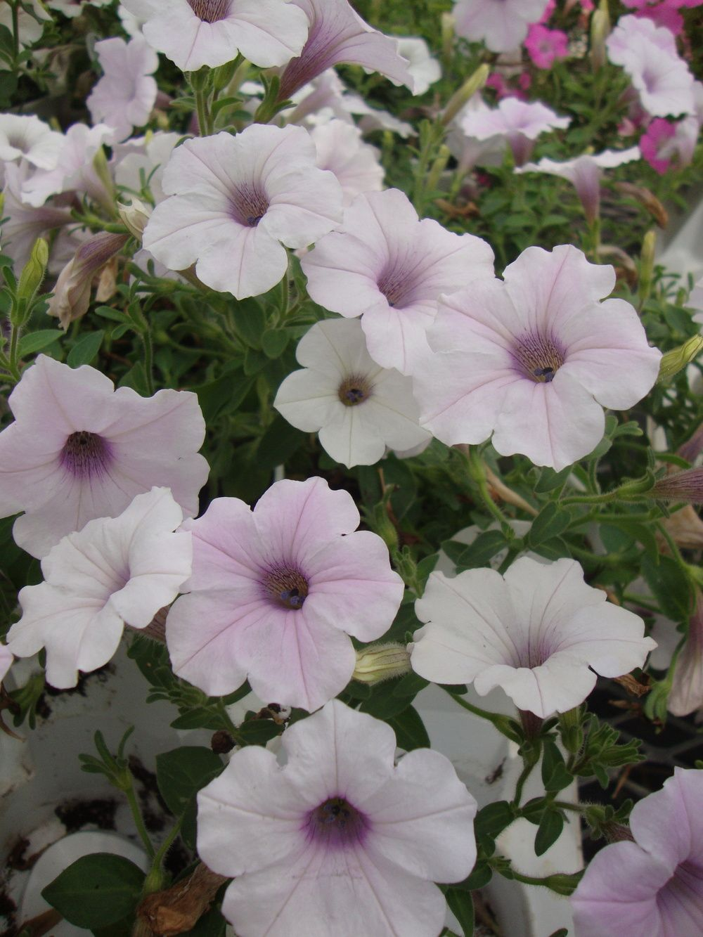 Trailing Petunia Petunia Supertunia Mini Silver With Images