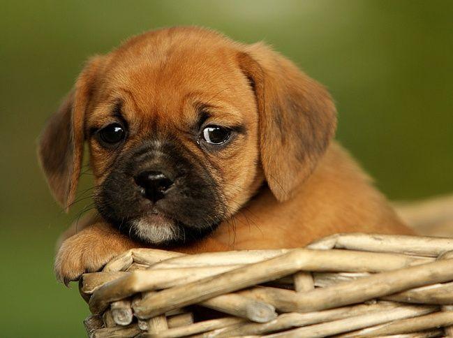 pug beagle puggle pug mixed breeds pinterest. Black Bedroom Furniture Sets. Home Design Ideas