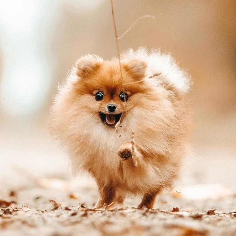 Sometimes you just gotta do a lil happy dance! 😂🐶 Credit: @missyminzi #instadog #dogworld #poms #pomeranianworld #pompup #pomeranianlife #pomlove #pomeranian_moments #pomeranian_fever #pomeranianlovers #dogstagram