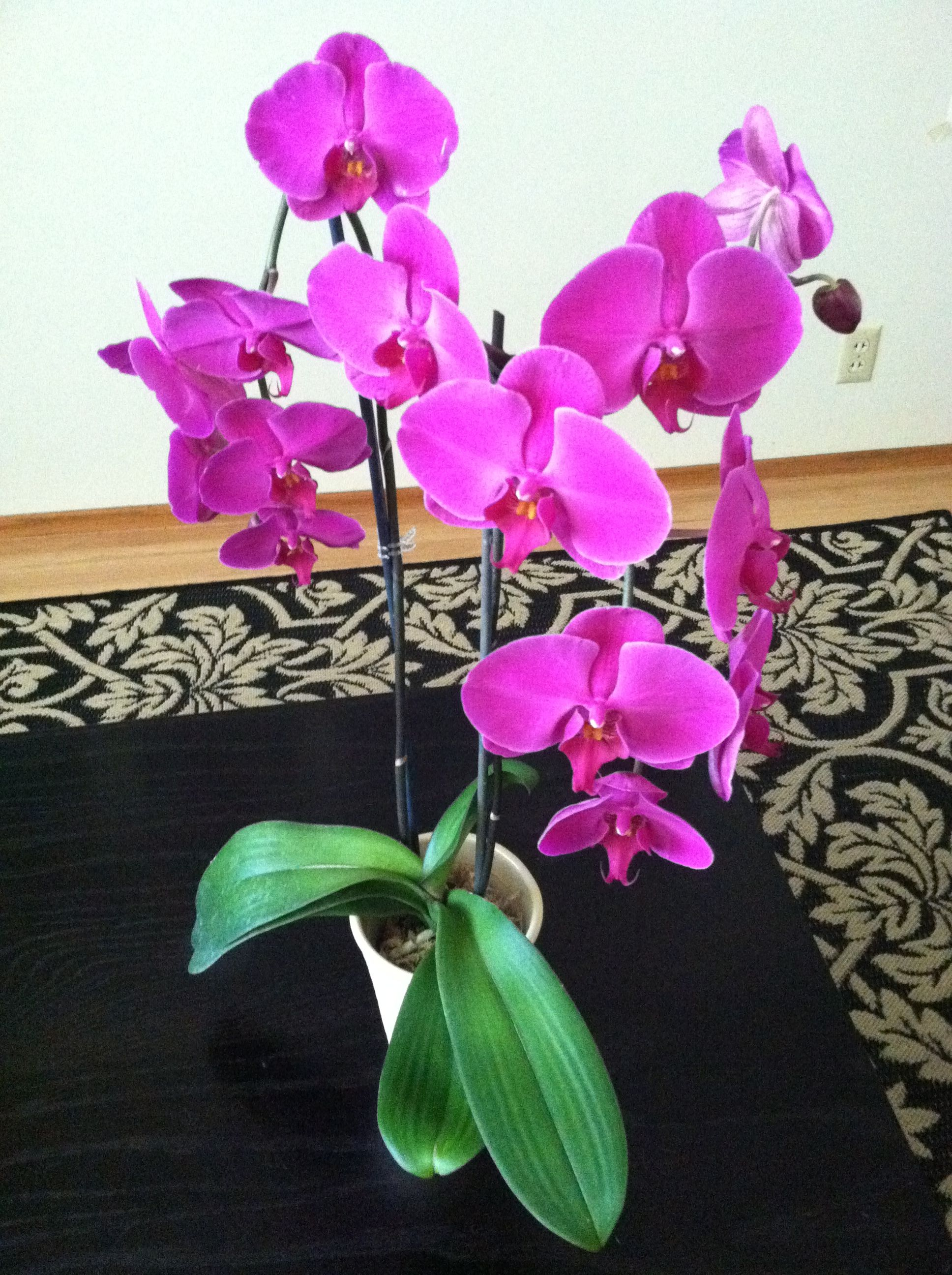 Care Instructions For My Phalaenopsis Orchid Orchids Beauty