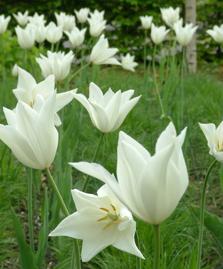 Tulip White Triumphator Lily Flowering Tulips Tulips Fall 2015 Flower Bulbs Bulb Flowers Tulips Flowers Flower Garden Pictures