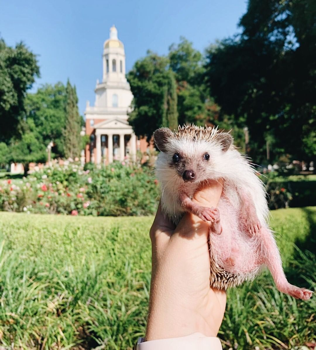A Hedgehog In Front Of Baylor S Pat Neff Hall You Re Welcome Baylor Bear