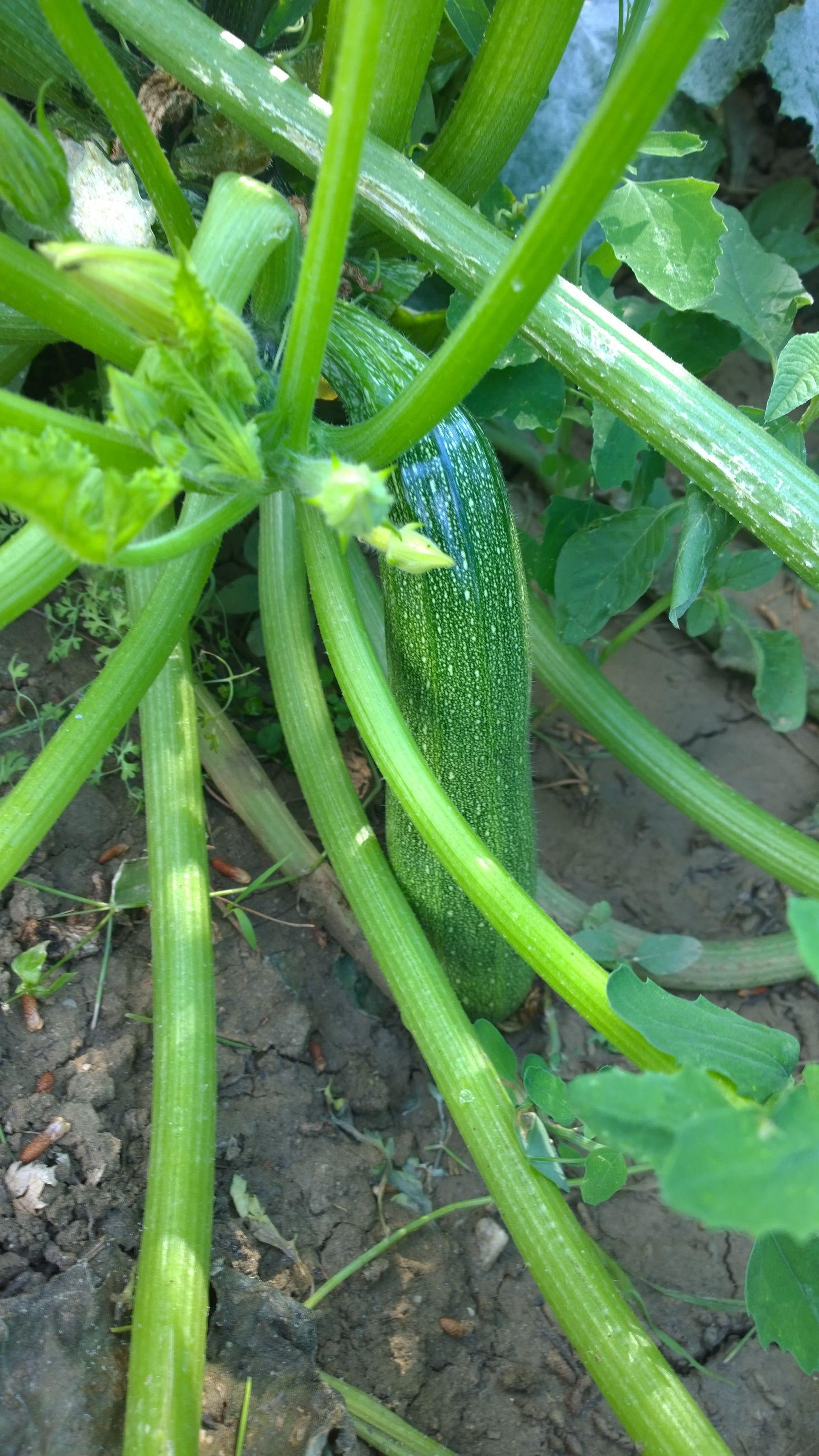 Pianta Con Zucchina L Pomodoro Piante E Zucchine