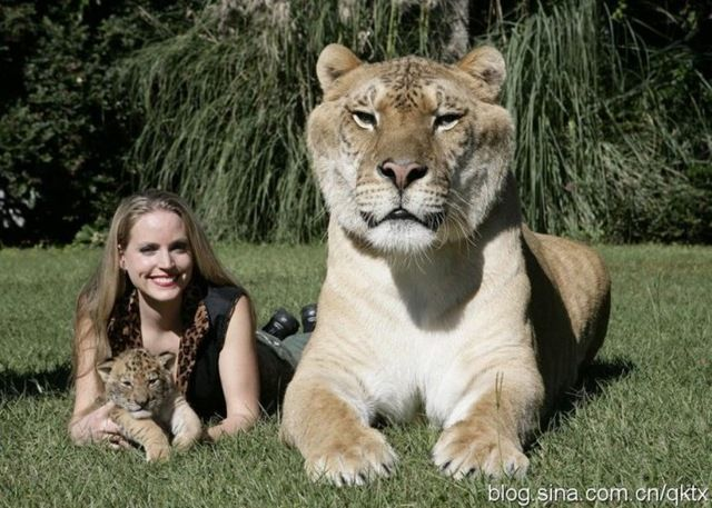 hercules holds the guinness world record weighing at 900 pounds he is the largest cat in the world and is 6 feet tall when standing from amazing things - Biggest Cat In The World Guinness 2014
