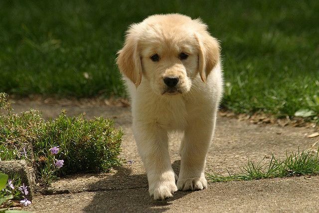 Golden Retriever Puppy Retriever Puppy Super Cute Puppies Dogs