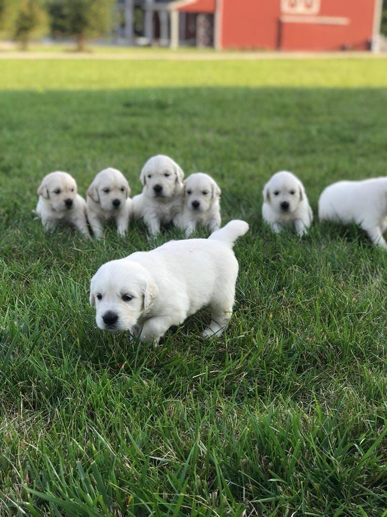 We Have 6 Week Old Golden Retrievers Akc Registered With A 1 Year