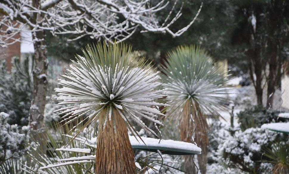 Bild Yuccas im Schnee (c) Thomas Boeuf in 2020 (With