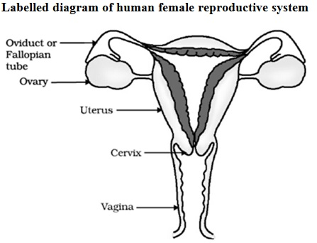 Cbse Class 10 Science Exam 2020 Important Biology Diagrams With Labelling Explanation In 2020 Biology Diagrams Biology Female Reproductive System