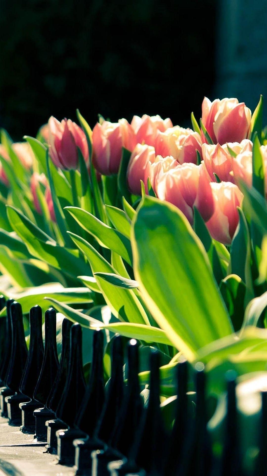 Tulip Garden Beside Fence iPhone 6 plus wallpaper