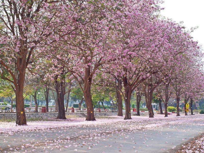 Image Result For Tabebuia Rosea Tree Tree Shade Trees Deciduous Trees