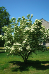 Nj Trees 11 Great Low Maintenance Replacement Trees For Nj With Images Kousa Dogwood Tree Rusty Garden Front Yard Design