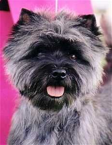Joymont Cairn Terriers Victoria Australia Cairn Terrier Dog